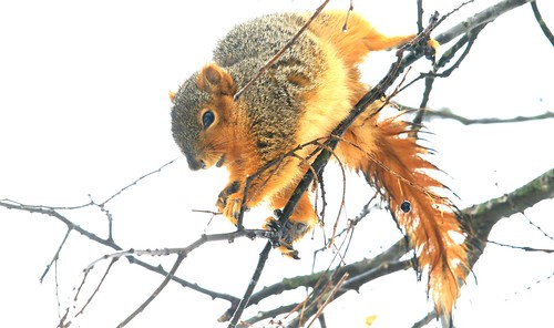 fox squirrel eating hackberry berries at Vernon Springs IA 653A2945