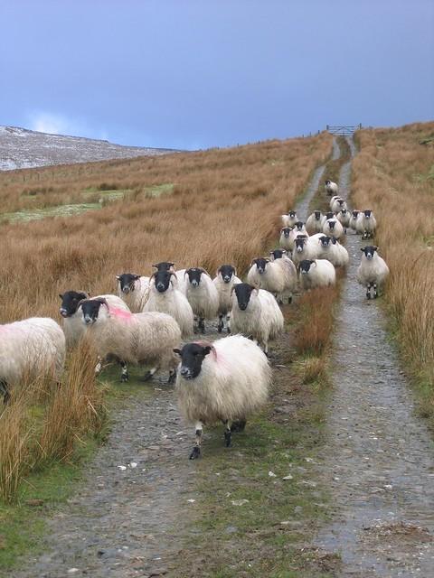 Sheep Patrol, Canon POWERSHOT A95