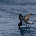 Grey-backed Storm-petrel by R. Francis