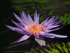 Photo:Water lily (Nymphaea, スイレン) By Greg Peterson in Japan