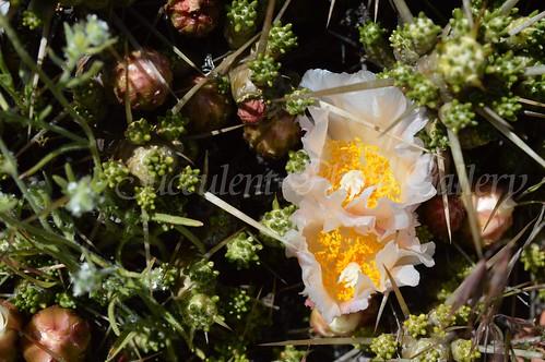 aDSC_0363 Maihuenia patagonica  マイフェニア パタゴニカ