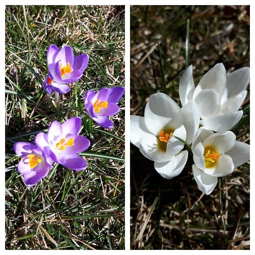 Linda posted these « Yay, crocuses in the front yard. Spring, spring, spring !!!!!!! »