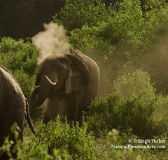 Elephant giving himself dust bath, Manyara