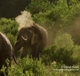 Elephant giving himself dust bath, Manyara | by Trileigh