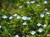 Photo:Veronica persica flowers (bird's-eye speedwell, オオイヌノフグリ) By Greg Peterson in Japan