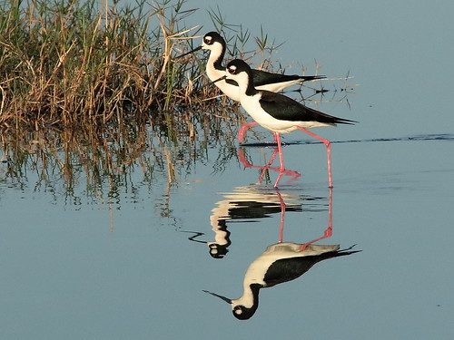 Black-necked Stilts 018-20190401