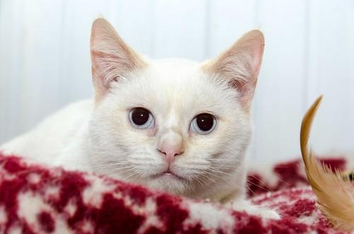 Corinto, gatito siamés Red Point muy guapo, esterilizado tímido y bueno nacido en Octubre´18, en adopción. Valencia. 33274922648_58e6d7f89b