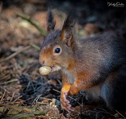 🇬🇧 Red squirrel eating (Explored 05/03/19) #156