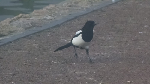 Misty morning magpie