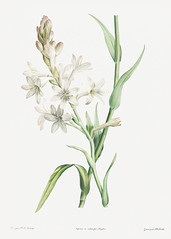 White tuberose flowers