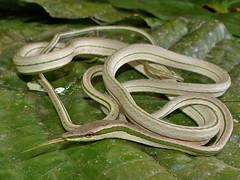 Philodryas argenteus