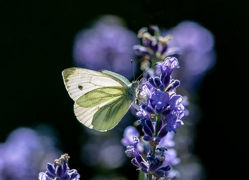 Schmetterlinge_19