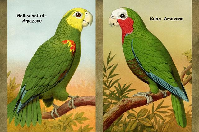 Papageien und Sittiche ... (Mexican Double Yellowhead Parrot, Australian Paroquet (Love Bird), Cuban Parrot, African Gray Parrot)Gelbscheitel-Amazone, Kuba-Amazone, Wellensittich, Graupapagei ... Zeichnungen aus einem alten Buch zu Collagen verarbeitet: Brigitte Stolle