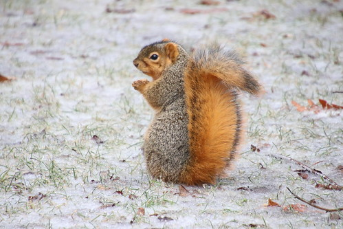 240/365/3892 (February 6, 2019) - Fox Squirrels on a Wet Winter's Day in Ann Arbor at the University of Michigan -  February 6th, 2019