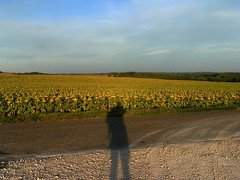 20080917 38480 1018 Jakobus Weg Sonnenblumenfeld Pilgerschatten - Photo of Sainte-Alauzie