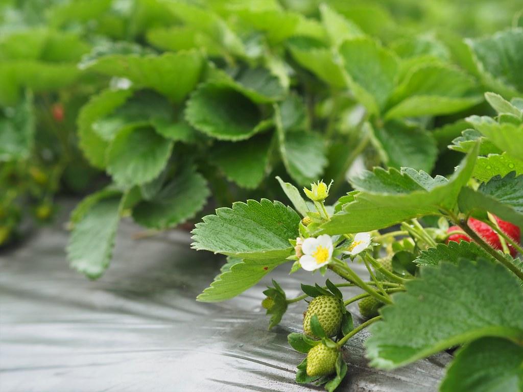 善化大安草莓 (2)