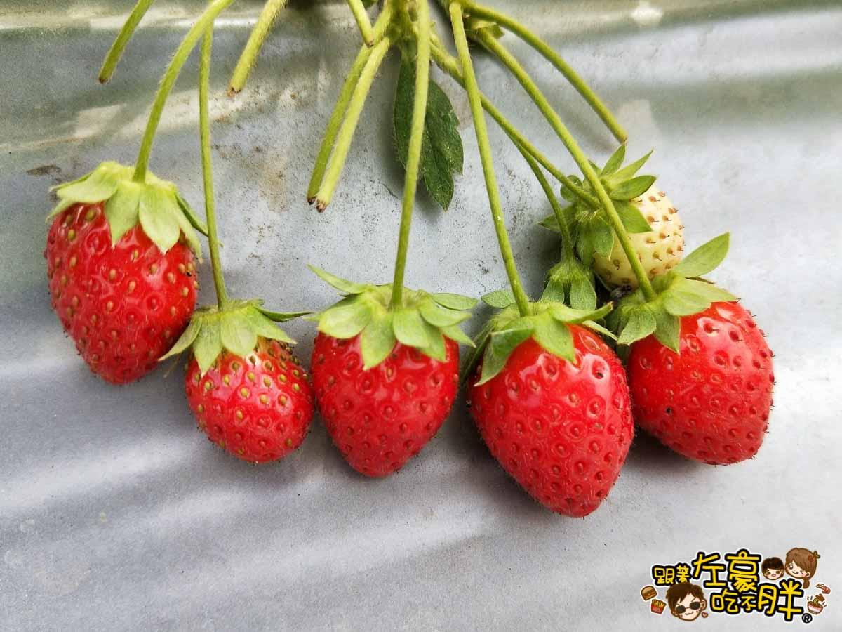 大岡山觀光草莓園-13