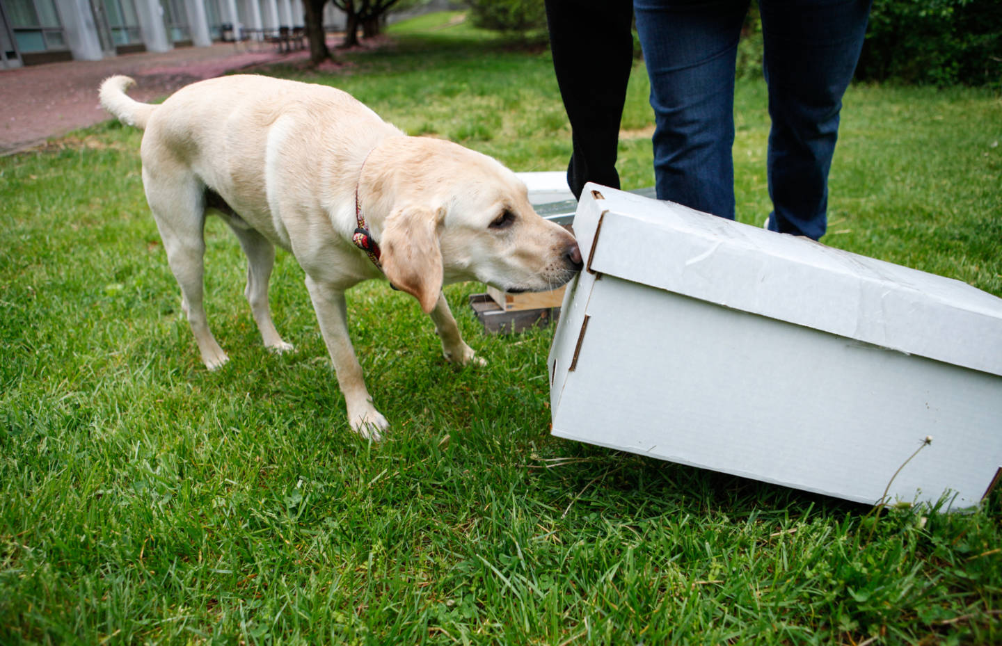 photo of labrador sniffing beehive