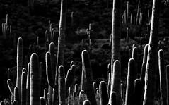 Nightfall: View through a Saguaro Cactus Forest