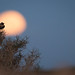 Desert Wheatear - Wüsten-Steinschmätzer by christianhoefs