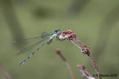 Chalcolestes viridis (Leste vert) - Photo of Pensol