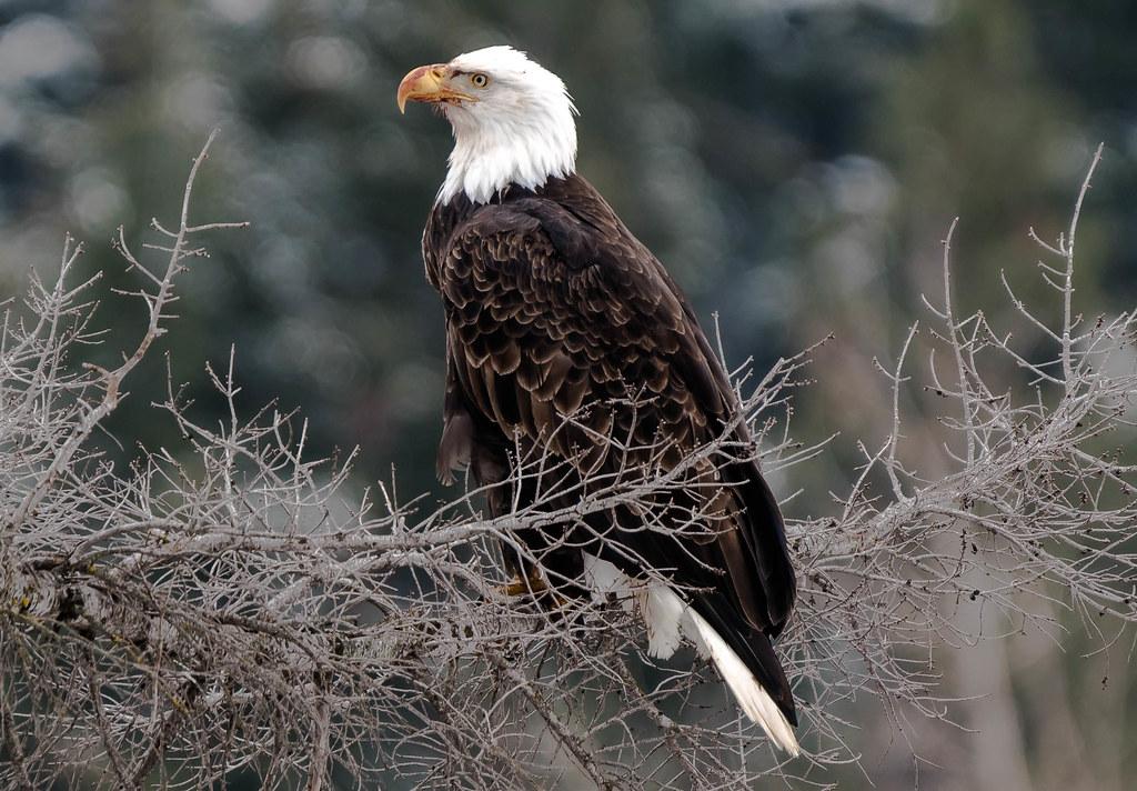 Eagle 5 (1 of 1)
