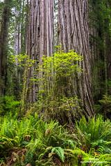 Coastal Redwoods and Ferns
