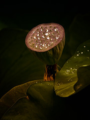 Pod and Water Drops