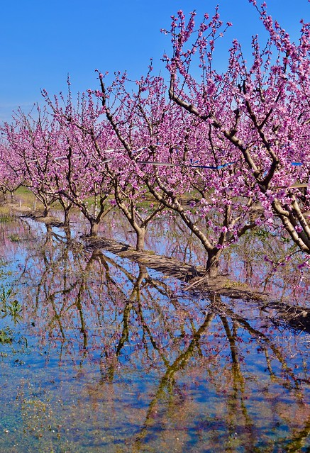 Persikkapuu
