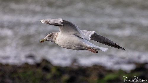 Herring Gull (Larus argentatus) in a gliding flight