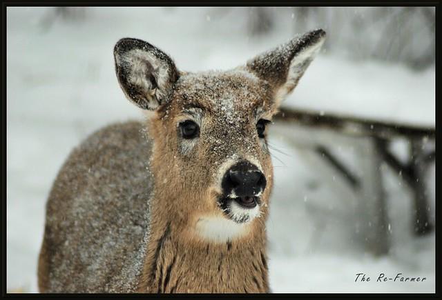 2019-01.white.tail.deer.1