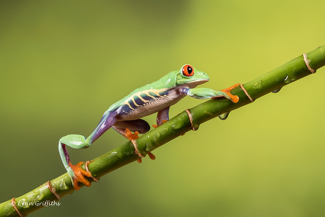 Red-eyed tree frog D75_7168.jpg