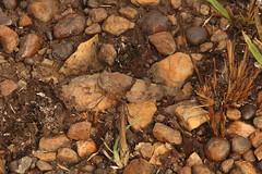 Camouflage grasshopper Winneba Plains in Ghana