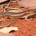 Mosaic desert skink (Eremiascincus musivus) by Stephen Zozaya