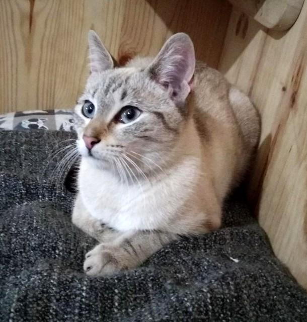 Teryl, preciosa gata siamesa tabby esterilizada nacida en Septiembre´18, en adopción. Valencia. ADOPTADA. 46503507514_2031d01804_z