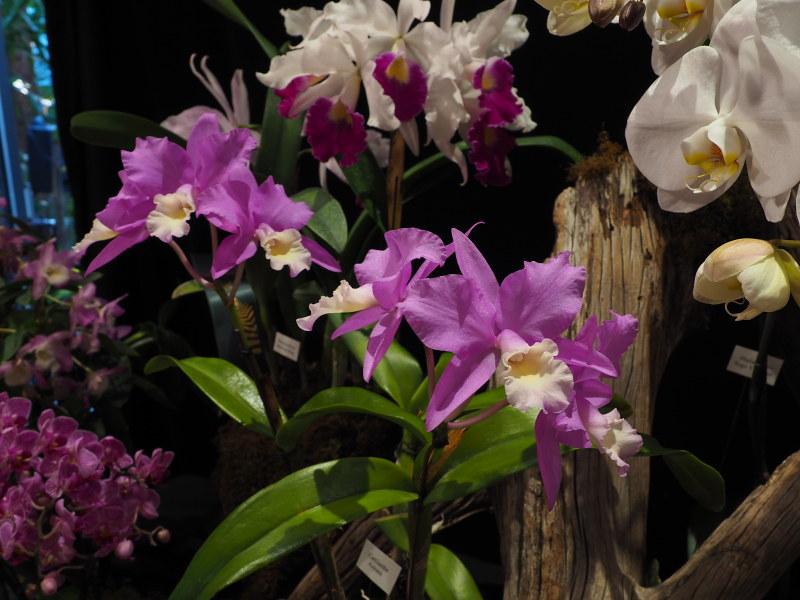 Orchidexpo 2017 - Photos 46567757952_d2cb6f256f_c