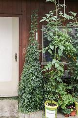 "Jiaogulan und Tomate ""Gardeners Delight"" (015)"