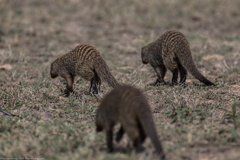 manguste Serengeti sep18_05_med