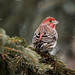 House Finch by kimng2