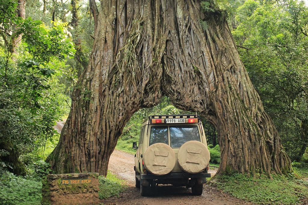 Tree Arch v národním parku Arusha
