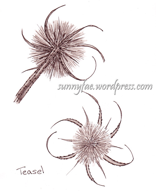 teasel drawn from the front and back