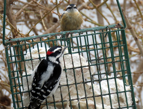downy woodpecker & a red-breasted nuthatch