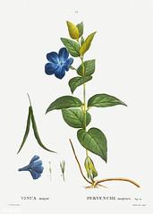 Greater Periwinkle flower