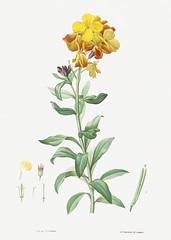 Yellow wallflower in bloom