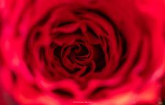 Au cœur de la rose.
