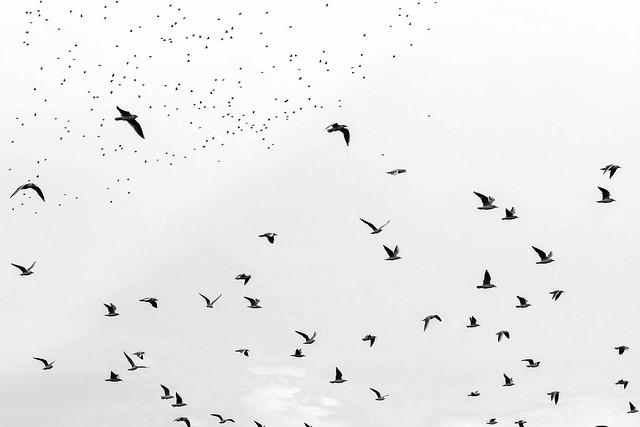 Paysages-Nuée Oiseaux Wavre_002, Canon EOS 80D, Sigma 105mm f/2.8 EX DG OS HSM Macro