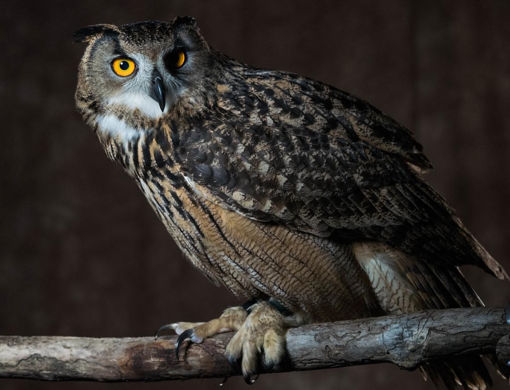 Eagle owl 3 (1 of 1)