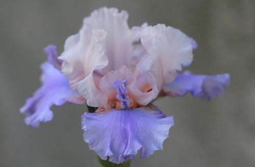 Iris - floraisons 2011 - Page 3 40232339153_79cd53179c