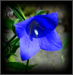 Platycodon Grandiflorus (balloon flower) with 4 Petals