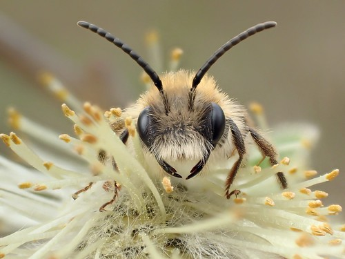 Andrena nitida male